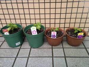 【ロジム園芸部】今年もアサガオを育て始めました。